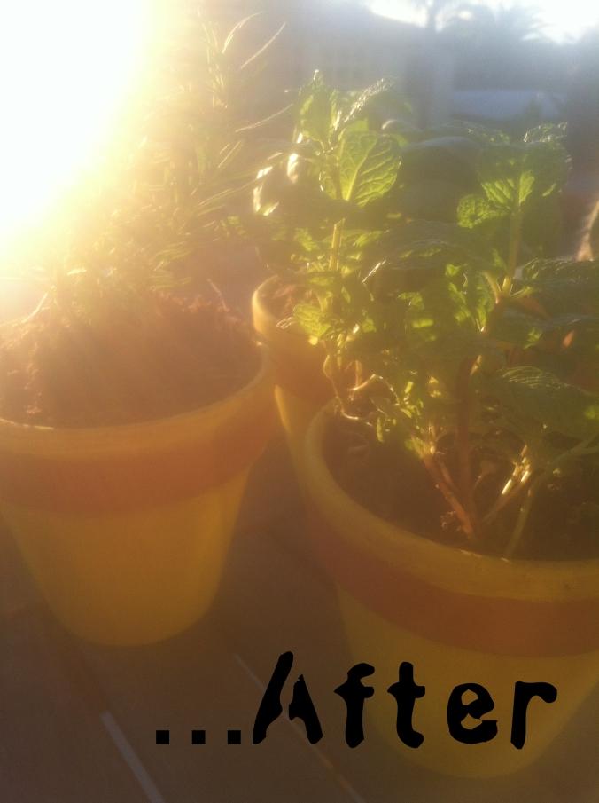 rosemary, basil & mint