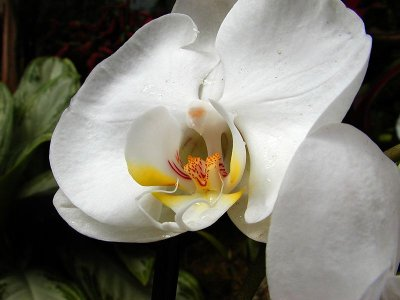 a phalaenopsis orchid