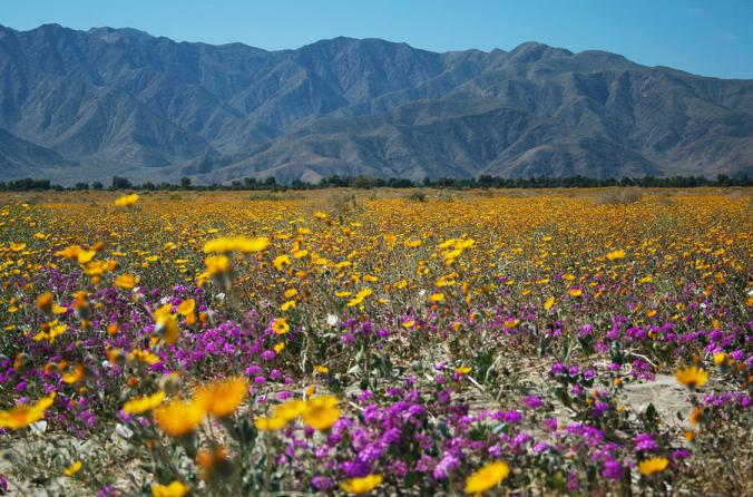 Anza-Borrego Spring Wildflowers